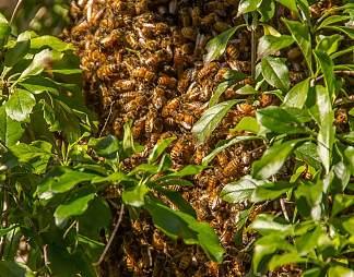 大量蜜蜂图片