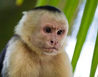 卷尾猴图片