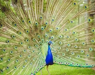 漂亮的孔雀开屏图片图片