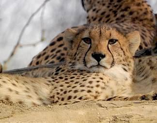 非洲猎豹图片