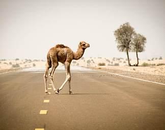 阿拉伯骆驼高清图片