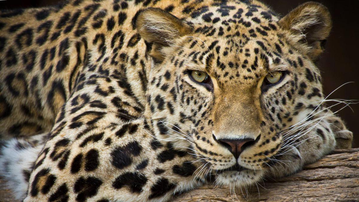 豹纹美甲图片,豹纹美甲图片大全,豹纹美甲壁纸大全_