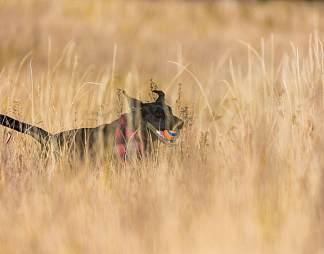 野外奔跑的狗图片